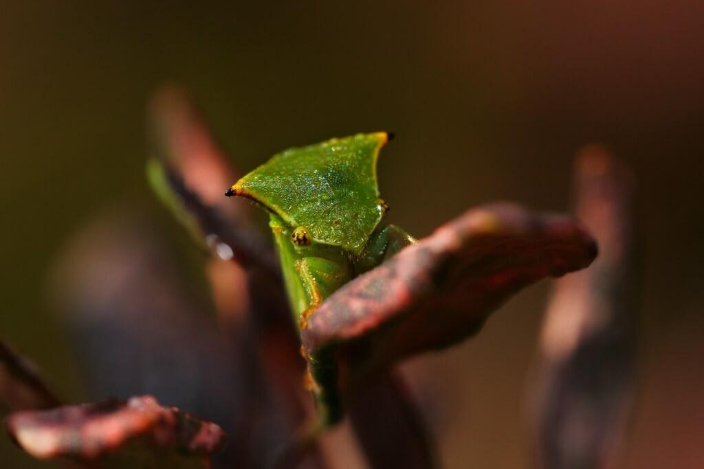 bivolček zelena grbovka Stictocephala bisonia