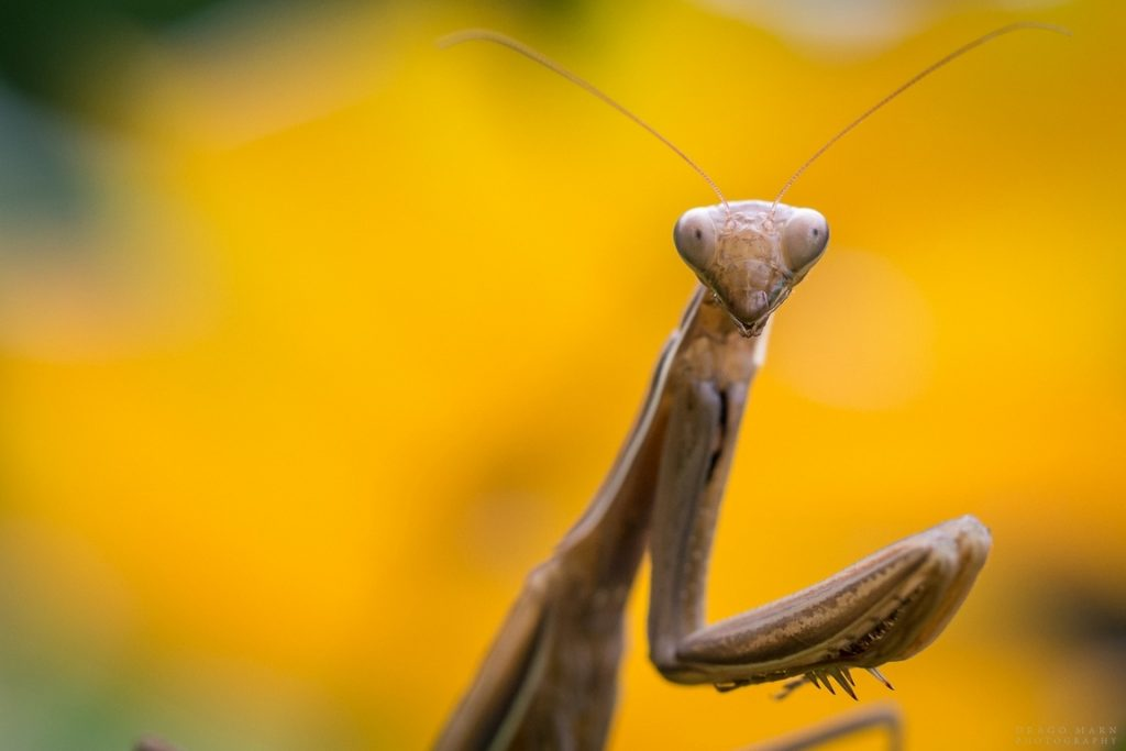 navadna bogomolka mantis religiosa