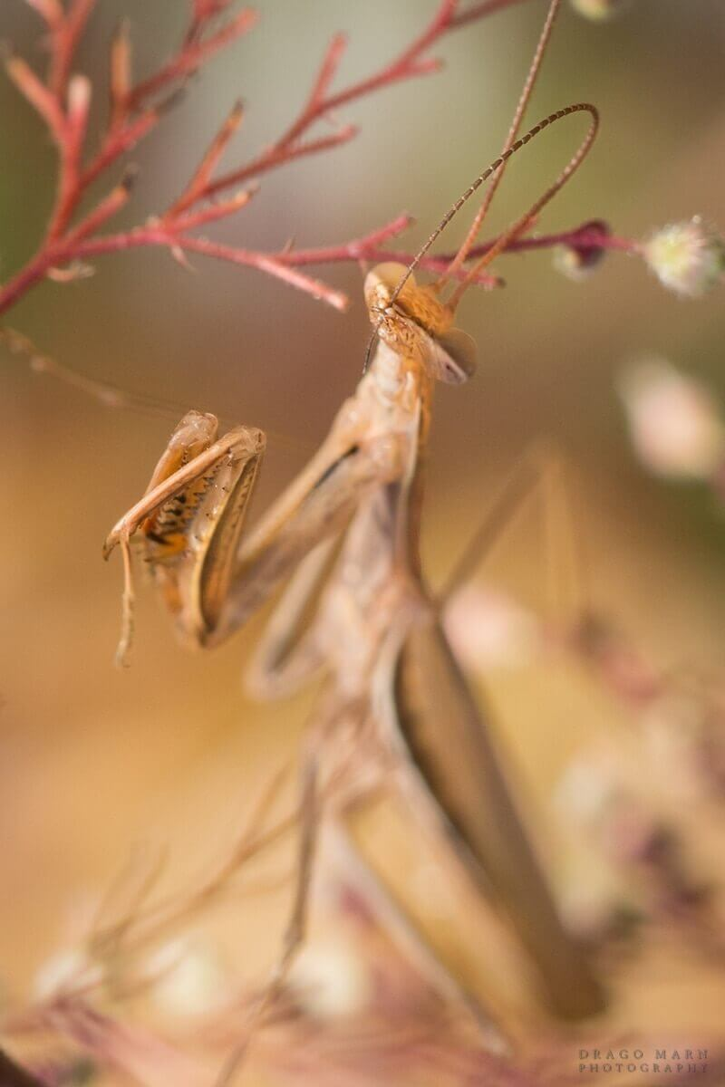 bogomolka mantis religiosa