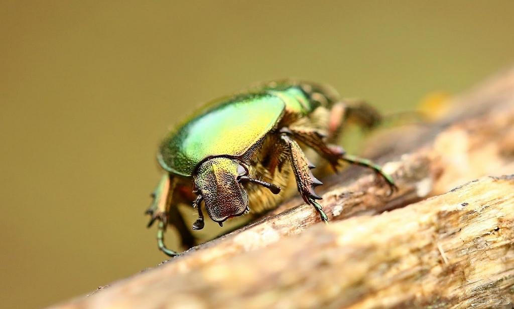 zlata minica Cetonia aurata