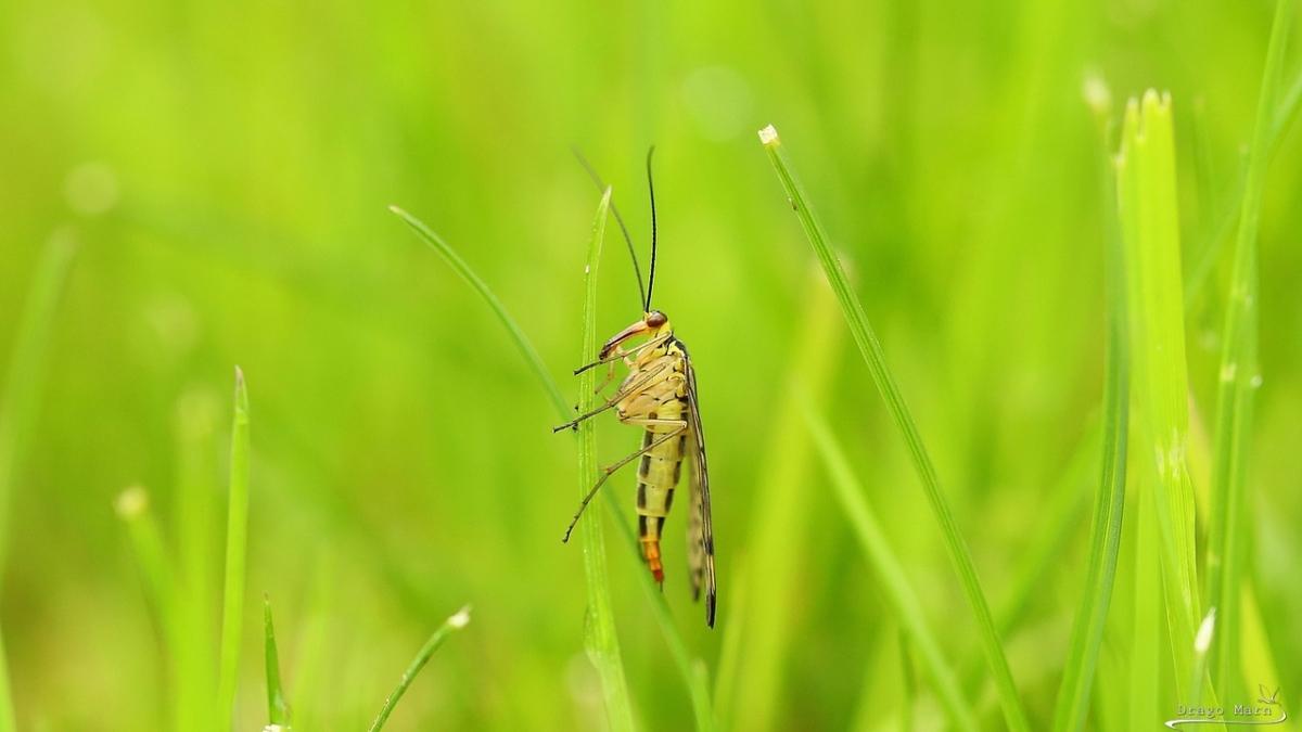 Navadna škorpijonka. Panorpa communis.