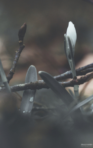 zvončki pomlad Navadni mali zvonček b/w Galanthus nivalis