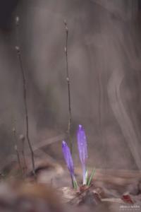 Spomladanski podlesek Crocus vernus žafran