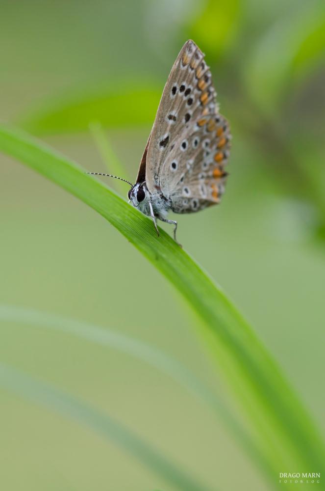 Navadni modrin, Polyommatus icarus