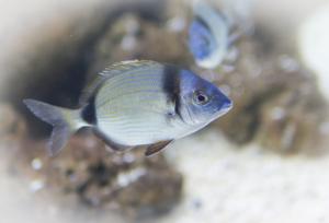 Piranski akvarij